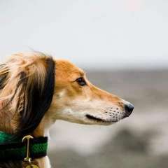 Lurcher SOS Homed Saluki Cross Lurcher Rusty