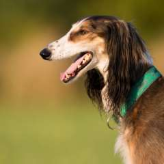 LSOS Homed Saluki Amirah