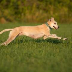 LSOS Homed Lurcher Lindy