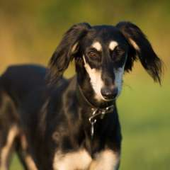 LSOS Homed Saluki Nouri