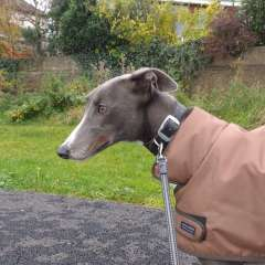 Gorgeous Greyhound Kellie
