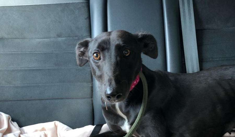 "Ebony on her ""freedom ride"" from the pound"