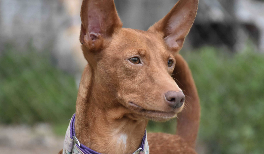 Mari the Podenco
